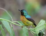Ruby-cheeked Sunbird, male