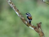 White-browed Shrike-Babbler, male