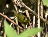 Marten's Warbler