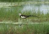 Pheasent-tailed Jacana