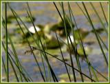 Reeds Along the Lake.jpg