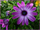 Great Purple.jpg