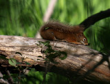Red Squirrel Napping in the Woods.jpg