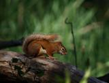 Sweetie Red Squirrel.jpg