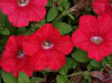 Petunias Like LV.jpg