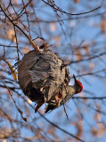 Red Bellied Woodpecker-Male