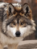 Mexican Grey Wolves