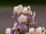 White Iris