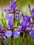 Tiny Purple Iris