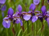 Tiny Purple Iris 2 .jpg