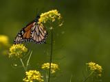 Monarch Butterfly_2.jpg