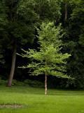River Birch Tree.jpg