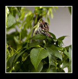 Beautiful Song Sparrow_1.jpg