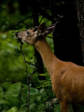 The Yearling_1