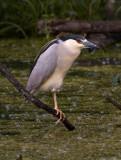 Black-crowned Night Heron_3.jpg