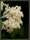 Tree in Full Bloom_2.jpg