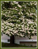 Tree in Full Bloom.jpg