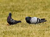 Pigeons_3.jpg