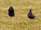 Pigeons_2.jpg
