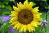 Sunflower Perfect.jpg