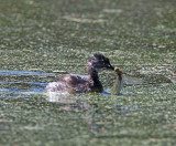 Least Grebe - juvenile with drogonfly_5584.jpg
