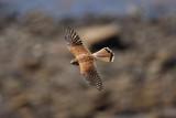 FALCONIDAE: Falcons