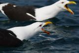 LARIDAE: Gulls & Terns