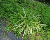 Invasive Weed