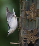 _MG_3925 Nuthatch.jpg