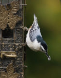_MG_3930 Nuthatch