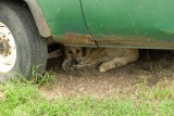 Dog went to shade and stayed there!