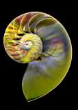 colored nautilus