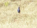 grosbeak Blue Tx 7-08 a.JPG