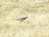 grosbeak Blue Tx 7-08 b.JPG
