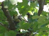 Waxwing Cedar MO 07-08 a.JPG