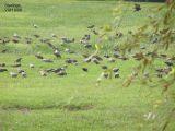 Starlings 9-06 text 1.JPG