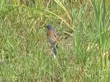 Bluebird E 6-08 a.JPG