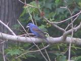 Grosbeak Blue 6-08 a.JPG