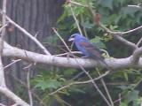 Grosbeak blue 6-08 b.JPG
