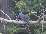 Grosbeak blue 6-08 c.JPG