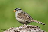 White-crowned Sparrow. Whidbey Is. WA