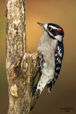 woodpeckers_nuthatches_etc