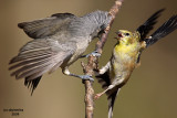 T. Titmouse and Goldfinch having a spat. Chesapeake, OH