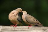 dove_love