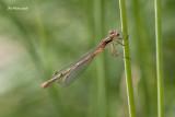 Demoiselle sp.
