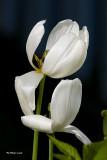 Tulipe Diana