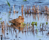 First of the Shovelers