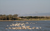 So many pelicans make a good composition difficult but an awesome sight