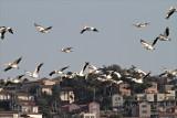 Pelicans over Maayan Tzvi.jpg