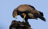 African Harrier-Hawk (Polyboroides typus) immature